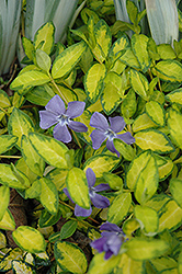 Illumination Periwinkle (Vinca minor 'Illumination') at Salisbury Greenhouse and Landscaping