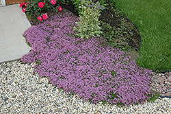 Red Creeping Thyme (Thymus praecox 'Coccineus') at Salisbury Greenhouse and Landscaping