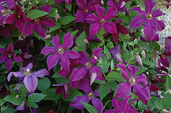 Polish Spirit Clematis (Clematis 'Polish Spirit') at Salisbury Greenhouse and Landscaping
