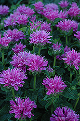Petite Delight Beebalm (Monarda 'Petite Delight') at Salisbury Greenhouse and Landscaping