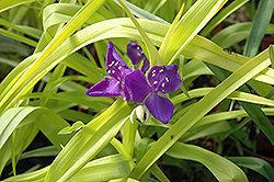 Blue And Gold Spiderwort (Tradescantia x andersoniana 'Blue And Gold') at Salisbury Greenhouse and Landscaping
