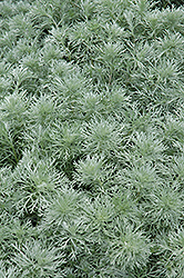Silver Mound Artemesia (Artemisia schmidtiana 'Silver Mound') at Salisbury Greenhouse and Landscaping