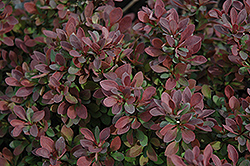 Royal Burgundy Japanese Barberry (Berberis thunbergii 'Gentry') at Salisbury Greenhouse and Landscaping