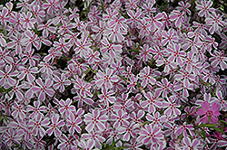 Candy Stripe Moss Phlox (Phlox subulata 'Candy Stripe') at Salisbury Greenhouse and Landscaping