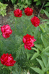Double Fernleaf Peony (Paeonia tenuifolia 'Flore Plena') at Salisbury Greenhouse and Landscaping