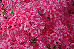 Rosy Lights Azalea (Rhododendron 'Rosy Lights') at Salisbury Greenhouse and Landscaping