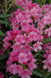 Hellikki Rhododendron (Rhododendron 'Hellikki') at Salisbury Greenhouse and Landscaping