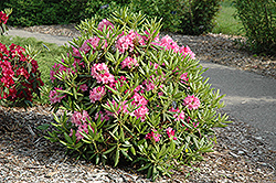 Haaga Rhododendron (Rhododendron 'Haaga') at Salisbury Greenhouse and Landscaping