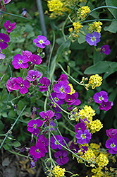 Whitewell Gem Rock Cress (Aubrieta deltoidea 'Whitewell Gem') at Salisbury Greenhouse and Landscaping