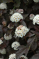 Diablo Ninebark (Physocarpus opulifolius 'Diablo') at Salisbury Greenhouse and Landscaping