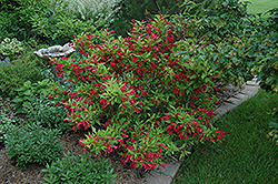 Red Prince Weigela (Weigela florida 'Red Prince') at Salisbury Greenhouse and Landscaping