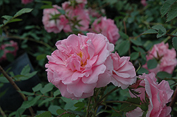 John Davis Rose (Rosa 'John Davis') at Salisbury Greenhouse and Landscaping