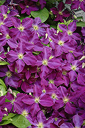 Jackmanii Superba Clematis (Clematis x jackmanii 'Superba') at Salisbury Greenhouse and Landscaping