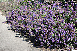 Walker's Low Catmint (Nepeta x faassenii 'Walker's Low') at Salisbury Greenhouse and Landscaping