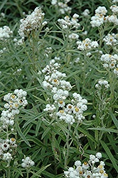 Pearly Everlasting (Anaphalis margaritacea) at Salisbury Greenhouse and Landscaping