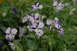 Columbine Pansy (Viola 'Columbine') at Salisbury Greenhouse and Landscaping