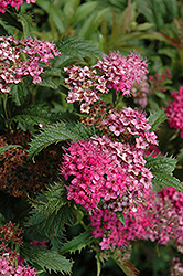 Crispa Spirea (Spiraea x bumalda 'Crispa') at Salisbury Greenhouse and Landscaping