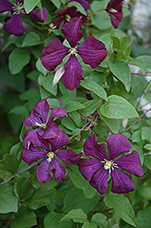 Etoile Violette Clematis (Clematis 'Etoile Violette') at Salisbury Greenhouse and Landscaping