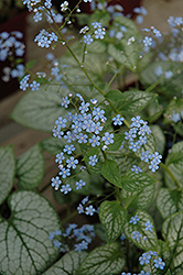 Jack Frost Bugloss (Brunnera macrophylla 'Jack Frost') at Salisbury Greenhouse and Landscaping