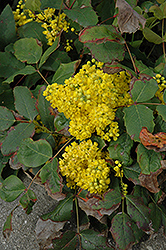 Creeping Mahonia (Mahonia repens) at Salisbury Greenhouse and Landscaping