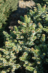 Pimoko Spruce (Picea omorika 'Pimoko') at Salisbury Greenhouse and Landscaping