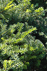Emerald Spreader Yew (Taxus cuspidata 'Emerald Spreader') at Salisbury Greenhouse and Landscaping