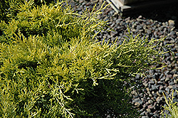 Sea Of Gold Juniper (Juniperus x media 'Sea Of Gold') at Salisbury Greenhouse and Landscaping