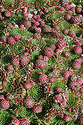Red Hens And Chicks (Sempervivum 'Red') at Salisbury Greenhouse and Landscaping