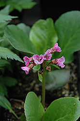 Winter Glow Bergenia (Bergenia 'Winterglut') at Salisbury Greenhouse and Landscaping