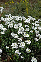 Purity Candytuft (Iberis sempervirens 'Purity') at Salisbury Greenhouse and Landscaping