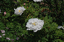 Henry Hudson Rose (Rosa 'Henry Hudson') at Salisbury Greenhouse and Landscaping