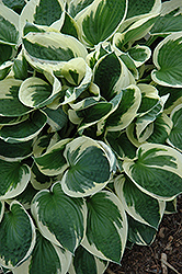 Patriot Hosta (Hosta 'Patriot') at Salisbury Greenhouse and Landscaping