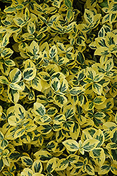 Emerald 'n' Gold Wintercreeper (Euonymus fortunei 'Emerald 'n' Gold') at Salisbury Greenhouse and Landscaping