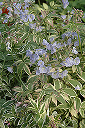 Touch Of Class Jacob's Ladder (Polemonium reptans 'Touch Of Class') at Salisbury Greenhouse and Landscaping