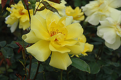 Golden Showers Rose (Rosa 'Golden Showers') at Salisbury Greenhouse and Landscaping