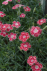 Spotty Pinks (Dianthus 'Spotty') at Salisbury Greenhouse and Landscaping
