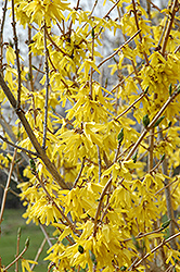 Northern Gold Forsythia (Forsythia 'Northern Gold') at Salisbury Greenhouse and Landscaping