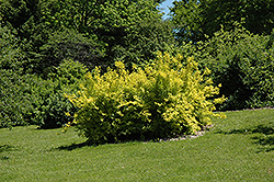 Golden Times Forsythia (Forsythia x intermedia 'Golden Times') at Salisbury Greenhouse and Landscaping