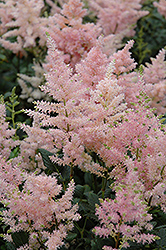 Peach Blossom Astilbe (Astilbe x rosea 'Peach Blossom') at Salisbury Greenhouse and Landscaping