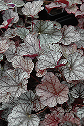 Silver Scrolls Coral Bells (Heuchera 'Silver Scrolls') at Salisbury Greenhouse and Landscaping