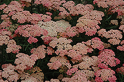 Apricot Delight Yarrow (Achillea millefolium 'Apricot Delight') at Salisbury Greenhouse and Landscaping