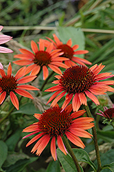 Big Sky Sundown Coneflower (Echinacea 'Big Sky Sundown') at Salisbury Greenhouse and Landscaping
