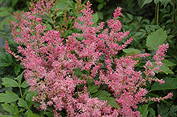 Boogie Woogie Astilbe (Astilbe 'Boogie Woogie') at Salisbury Greenhouse and Landscaping