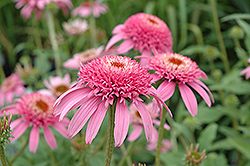 Cone-fections™ Pink Double Delight Coneflower (Echinacea purpurea 'Pink Double Delight') at Salisbury Greenhouse and Landscaping
