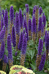 Royal Candles Speedwell (Veronica spicata 'Royal Candles') at Salisbury Greenhouse and Landscaping