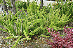 Foxtail Fern (Asparagus meyeri) at Salisbury Greenhouse and Landscaping