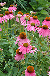 Kim's Knee High Coneflower (Echinacea 'Kim's Knee High') at Salisbury Greenhouse and Landscaping