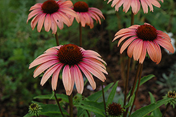 Big Sky Summer Sky Coneflower (Echinacea 'Big Sky Summer Sky') at Salisbury Greenhouse and Landscaping