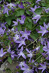 Serbian Bellflower (Campanula poscharskyana) at Salisbury Greenhouse and Landscaping