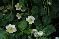 Seascape Strawberry (Fragaria 'Seascape') at Salisbury Greenhouse and Landscaping
